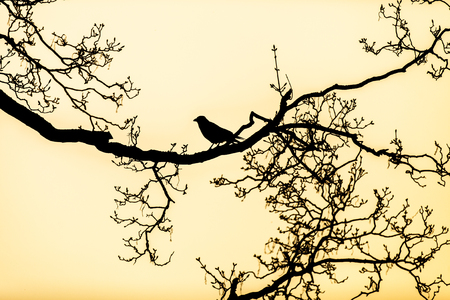 foretelling: black silhouette of a raven perched on the bare branches of a tree Stock Photo