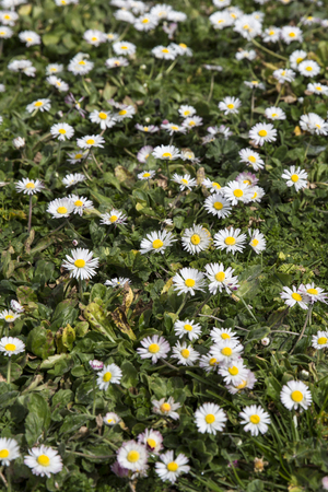 compile: Green meadow with blooming oxeye daisy flowers
