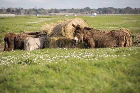 Poitous donkeys eating hay in a green field