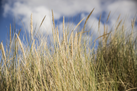 desert ecosystem: dune grass in the wind at a sunny afternoon in summer Stock Photo