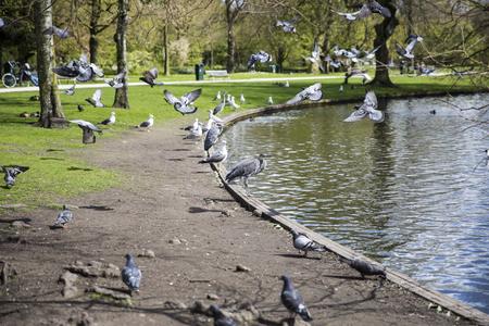 palomas volando: Garza de gran azul (Ardea Herodias) surrpunded por las palomas que vuelan alrededor en el parque