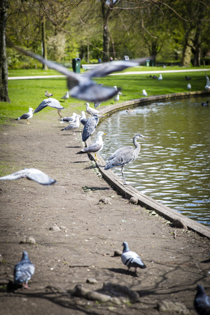 ardea: Great Blue Heron (Ardea herodias) surrpunded by pigeons flying around in the park Stock Photo
