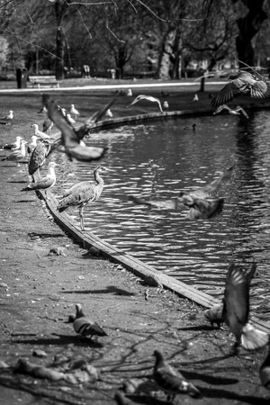 palomas volando: Great Blue Heron (Ardea herodias) surrpunded by pigeons flying around in the park Foto de archivo