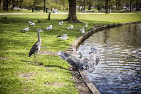herodias: Courtship display of a couple of great blue herons in the park