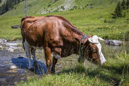 Swiss cow crossing a river stream in in bucolic green summer alpine meadow, Swiss Alps mountain massif, canton du Valais, Switzerland Stock Photo