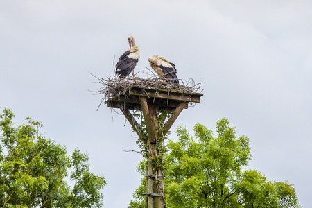 Couple of white storks in their nest