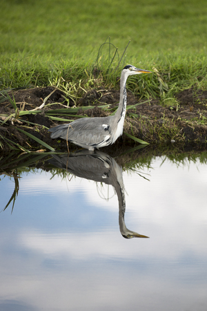 gray herons: Grey heron by a canal reflecting in water