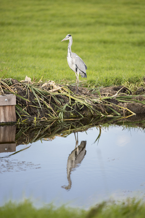 Grey heron by a canal reflecting in water