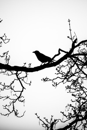 black silhouette of a raven perched on the bare branches of a tree Stock Photo