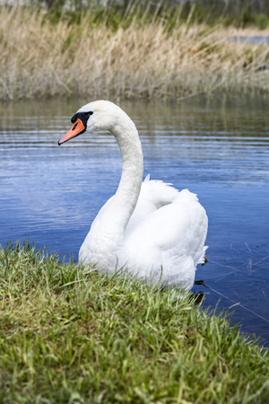 majesty: Swan on a lake next to the  green shore