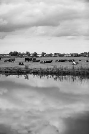 Dutch Holstein dairy cows grazing in field, the Netherlands Stock Photo