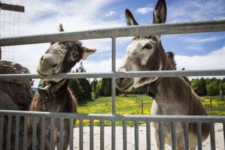Donkeys behind a fence Stock Photo