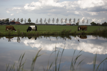 Dutch Holstein dairy cows grazing in field, the Netherlands Stock Photo