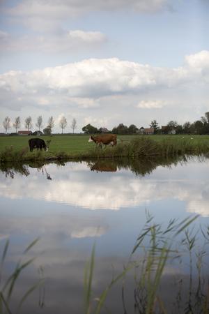 noord: Dutch Holstein dairy cows grazing in field, the Netherlands Stock Photo