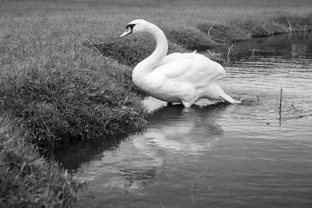 Swan on a lake next to the shore Stock Photo
