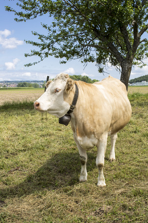 Cow grazing in field Stock Photo