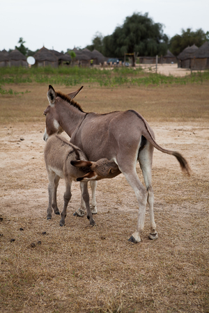 Donkey with baby donkey suckling Stock Photo