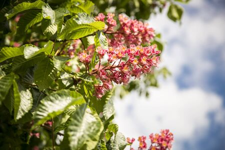 Blooming conker tree with pink flowers Stock Photo
