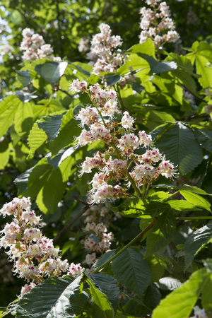 Blooming conker tree with white flowers Stock Photo