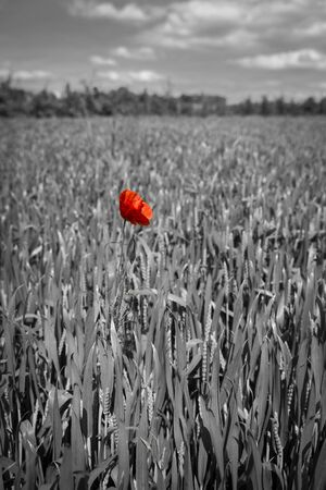 world war one: Lonely red possy flower in a green wheat fiels