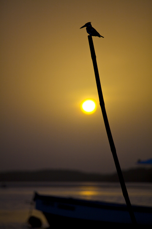 Silhouette of a kingfisher perched on a stick in the sunset, Sine Saloum, Senegal