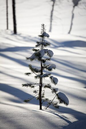 little young pine tree in the snow