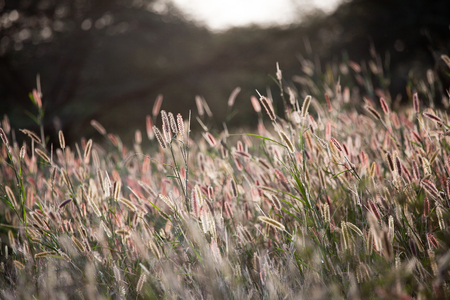 canne: Sunset on African reeds