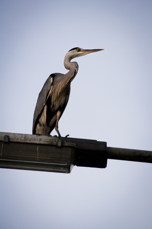 Grey Heron perched on a lamp post