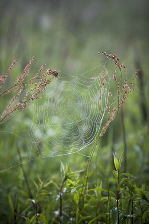 Spider web hanging between grass stems with water drops from the morning dew