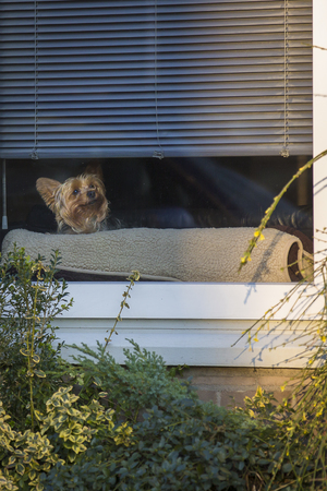 Little Yorkshire dog looking with curiosity from behind a window, Amsterdam, The Netherlands 写真素材