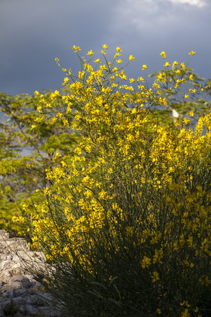 Genisteae bush with contrasted colorful yellow flowers