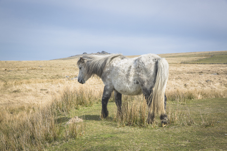 Semi-feral Dartmoor ponies grazing in the highland moorland of southern Devon, England Stockfoto