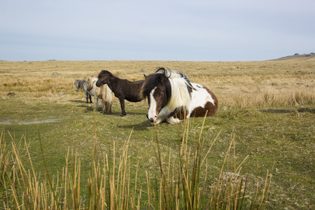 Semi-feral Dartmoor ponies grazing in the highland moorland of southern Devon, England