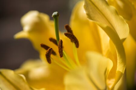 Close up on a yellow lily flower (lilium)
