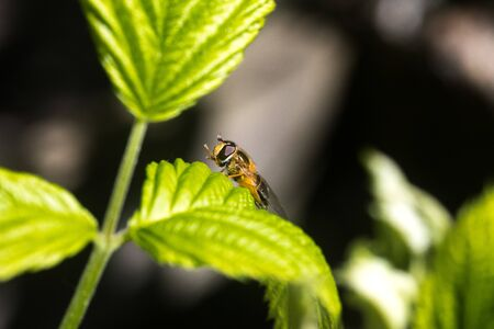 Close up on a fly or a bee resting on a green leaf with pollen bag on its leg