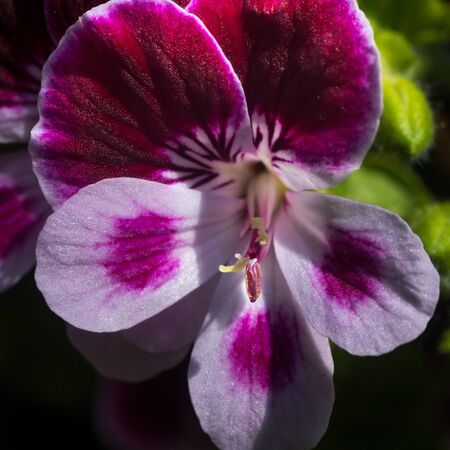 Close up on a pink geranium flower with petals, pistils with pollen