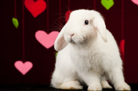 White rabbit with colored valentines on background