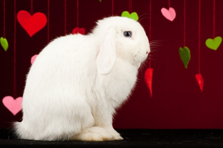 White rabbit with colored valentines on background.