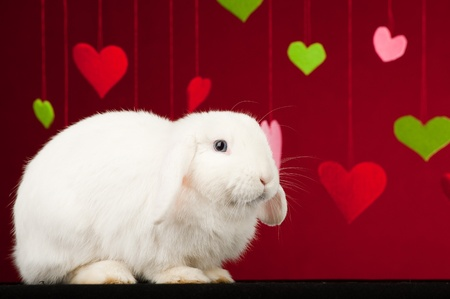 White rabbit  with colored valentines on red background