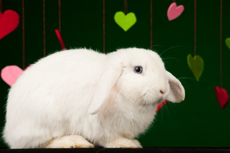 White bunny with colored valentines