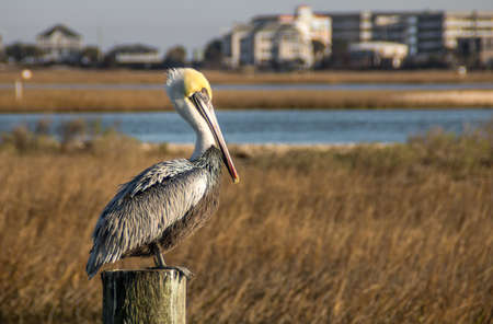 Pelican looking out over the salt marsh