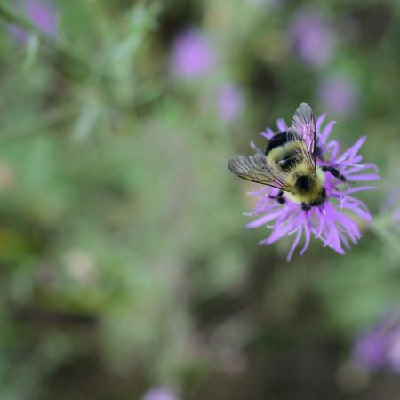 flores moradas: Closeup of Bumble Bee on Canada Thistle Flower