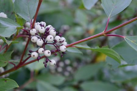 osier: Red Osier Dogwood  Cornus sericea stolonifera Berries Stock Photo