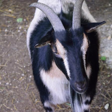 nigerian: Horned Nigerian Dwarf Goat Stock Photo