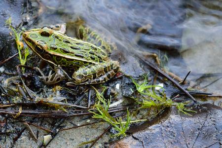 shoreline: Pipiens rana leopardo norte�a Lithobates en el Lago Shoreline