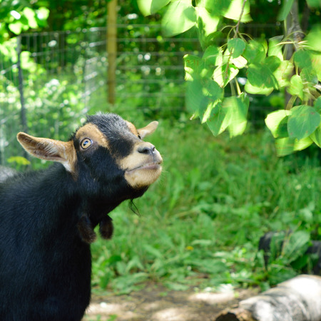 nigerian: Nigerian Dwarf Goat Looking Up at Trembling Aspen Leaves Stock Photo