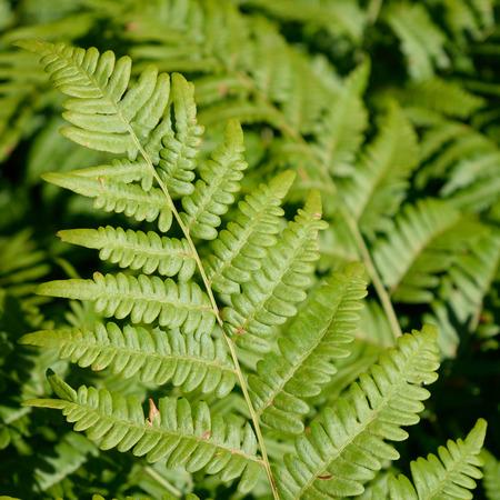 Bracken Fern Pteridium aquilinum Leaf Blade