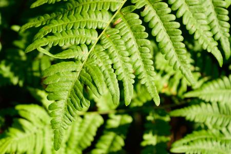 bracken: Bracken Fern Pteridium aquilinum Leaf Blade Tip