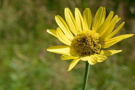 helianthus: Wild Sunflower Helianthus Detail Stock Photo