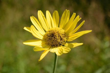 helianthus: Wild Sunflower Helianthus  Stock Photo